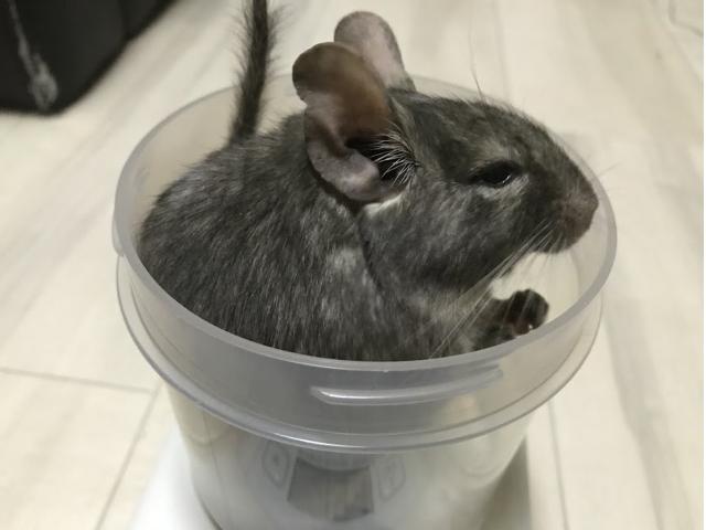 デグーの体重を調理用の測りで測る
