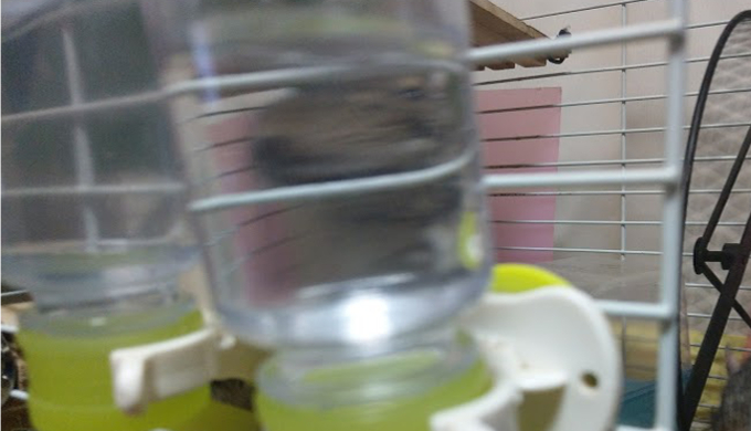 デグーの給水ボトルのおすすめと使い方